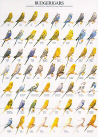 Poster Budgerigars 68 x 98cm