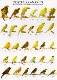 Poster Type Canaries 68 x 98cm