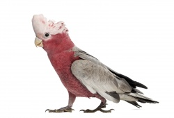 Cockatoo - Galah