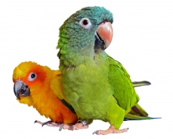 Conure - Sun/Blue Crowned (Aratinga)