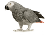 African Grey & Amazon Parrot Toys