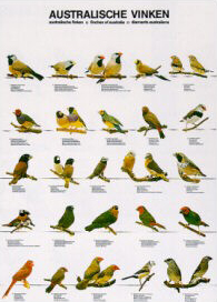 Poster Australian Finches 48 x 68cm