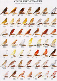 Poster Colour Canaries 1 68 x 98cm