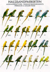 Poster Ring Necked Parakeets 68 x 98cm