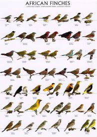 Poster African Finches 1 68 x 98cm