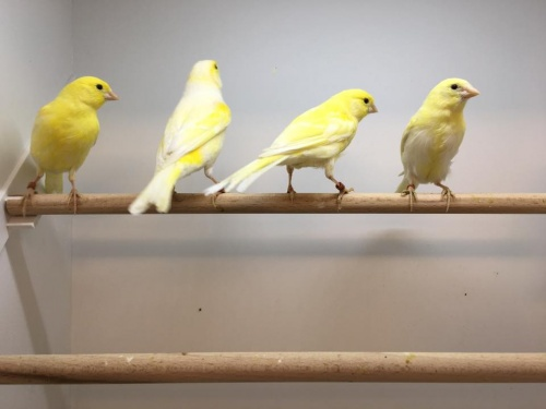 Irish Fancy Canary