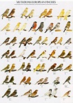 Poster European Finch Mutations 68 x 98cm