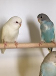 Budgerigar (all colours)